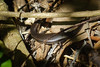 Skink ID? (Carey Knox) Tags: australia reptile wildlife australianwildlife