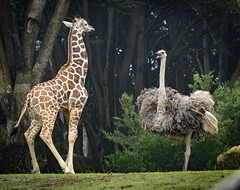 Common Ostrich (Struthio camelus) being aggressive towards a juvenile Reticulated Giraffe (Giraffa reticulata) (Wade Tregaskis) Tags: commonostrich giraffareticulata reticulatedgiraffe somaligiraffe struthiocamelus baby grass juvenile offspring rock stone trees young