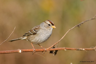 (Gambels) White crowned Sparrow