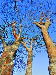 Reach! (elphweb) Tags: hdr highdynamicrange nsw australia tree trees forest bush woods wood