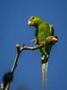 Periquito-verde (Brotogeris tirica) Plain Parakeet (Eden Fontes) Tags: jardimbotânico periquitoverde aves riodejaneiro birds jb brotogeristirica rj jbrj plainparakeet periquitorico