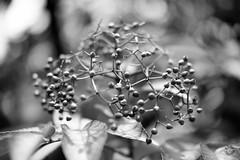 Nature 1 monochrome (Pablouno) Tags: monochromatic monocromatico naturaleza nature leaf bw blancoynegro bokeh