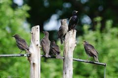starlings perched (sure2talk) Tags: starling juveniles blackbird nikond7000 nikkor70300mmf4556afsifedvr