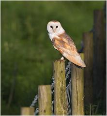 Barn Owl (Antony Ward) Tags: owl barnowlwildbird perchedbarnowl ywt