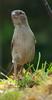 Tu me vois ? (petitfrere.julien) Tags: oiseau oiseaux flickr birds bird passerdomesticus panasonic nature wild plumage plumes vert mousse moineaudomestiquefemelle moineau herbe