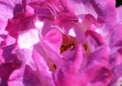 DSC_0002 (PeaTJay) Tags: nikond750 sigma reading lowerearley berkshire macro micro closeups gardens outdoors nature flora fauna plants flowers rose roses rosebuds