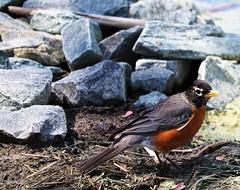 6Q3A0972 (www.ilkkajukarainen.fi) Tags: americanropin songbird laululintu bird lintu nature luoto salisbury ward museun happy life travel traveling visit punarintarastas