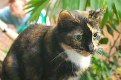 Key West (Florida) Trip 2017 0282Ri 4x6 (edgarandron - Busy!) Tags: cat cats kitty kitties florida keys floridakeys keywest blue heaven jesk calico