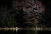 桜いろいろ #22ー Various cherry blossoms #22 (kurumaebi) Tags: yamaguchi 秋穂 山口市 nikon d750 nature landscape 桜 cherryblossoms サギ 鳥 bird helon