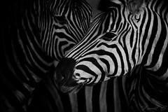 **Le chant du clair obscur** (Vincent Chopard • Wildlife photographer) Tags: zebra zèbres animal life wild wildlife namibia etosha national park horse free wildhorse africa afrique portrait blackandwhite noiretblanc bw nb photography photographer nikon nikond800 nikkor lens nikkor400mm28 sunset swiss artist vincentchopard