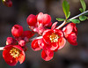 Red Blossom (littlestschnauzer) Tags: quince spring red blossom pretty small flowers dunham massey gardens 2018 uk springtime april flowering branch nature