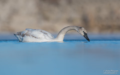 Trumpeter swan (salmoteb@rogers.com) Tags: bird wild outdoor nature wildlife ontario canada lowangle water trumpeter swan toronto