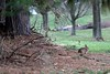 Bunny (mpalmer934) Tags: rabbit bunny pines trees yard outdoor scene spring