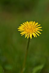 Dandelion (pstenzel71) Tags: blumen natur pflanzen dandelion löwenzahn taraxacum flower darktable bokeh