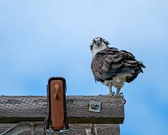Looking at Something? (lennycarl08) Tags: osprey ptmolateosprey raptor birdofprey birds bird richmondca fisheagle fishhawk