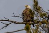 Eagle in a white pine. (ricmcarthur) Tags: bald eagle chathamkent ontario canada ca haliaeetusleucocephalus ricmcarthur rickmcarthur rondeauric