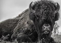 American Bison (Jack Heald) Tags: bison buffalo americanbison bw blackandwhite monochrome yellowstone nationalpark lamar valley wyoming usa heald jack nikon d750