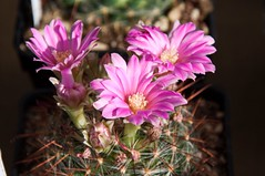 Mammillaria (douneika) Tags: cactaceae cactus mammillaria