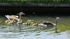 A happy family (Cajaflez) Tags: gans grauwegans geese goose ganzenkuikens gosslings ngc coth5 npc