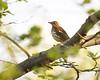 Wood Thrush (Shayna Marchese) Tags: woodthrush hamiltonpark jerseycity
