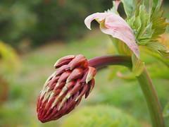 Melianthus major (tgrauros) Tags: barcelona catalogne catalonia cataluña catalunya honeyflower jardíbotànicdebarcelona melianthaceae melianthusmajor flower
