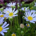Au jardin, pâquerettes bleues ou Felicia amelloides, Bosdarros, Béarn, Pyrénées Atlantiques, Aquitaine, France. thumbnail