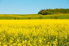 Rapsblüte (Elbmaedchen) Tags: ecksoll wiesen rapsfeld schleswigholstein frühling springtime yellow