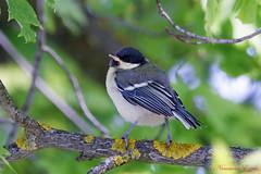 Mésange charbonnière juvénile   (1) (Ezzo33) Tags: france gironde nouvelleaquitaine bordeaux ezzo33 nammour ezzat sony rx10m3 parc jardin oiseau oiseaux bird birds specanimal mésange charbonnière juvénile parus major