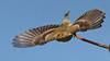 American goldfinch/Chardonneret (jlp771) Tags: gold yellow bird vol canon sigma 80d chardonneret goldfinch