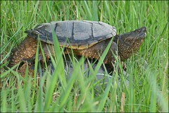 Mating Snapping Turtles (muledriver) Tags: turtles snappers snappingturtles reptiles