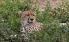 In A Bed Of Herbs (AnyMotion) Tags: cheetah gepard acinonyxjubatus cat katze resting 2018 anymotion ndutu ngorongoroconservationarea tanzania tansania africa afrika travel reisen animal animals tiere nature natur wildlife 7d2 canoneos7dmarkii ngc npc
