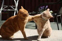 The big fight (2 of 2) (Kerri Lee Smith) Tags: jimmy mack brothers buddies gingercats orangecats beigecats orangetabbies gingertabbies beigetabbies backyard spring fight happycaturday sooc