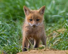 Red Fox - Vulpes vulpes | 2018 - 14 (RGL_Photography) Tags: carnivora fox gardenstate jerseyshore kits monmouthcounty mothernature newjersey nikonafs600mmf4gedvr nikond500 redfox us unitedstates vulpesvulpes wildkingdom wildlife wildlifephotography