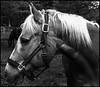 Palomino (JBayPhotographie) Tags: animal horse black white monchrome palomino mane nose eye ear dark side halter jaw muscle farm contrast rustic western