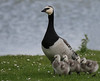 Barnacle goslings (yvonnepay615) Tags: panasonic lumix gh4 nature barnaclegeese holkham norfolk eastanglia uk coth coth5