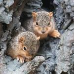 338/365/3625 (May 15, 2018) - Squirrels (including Juveniles) in Ann Arbor at the University of Michigan (May 15th, 2018) thumbnail