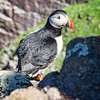 On His Own (Stoates-Findhorn) Tags: 2018 island bird puffins scotland sutherland handa cliffs scourie unitedkingdom gb