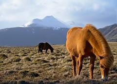Icelandic horses (MW // Photography) Tags: iceland horses landscape nikon travel nature mountain landschaft himmel gras berg 1000v40f
