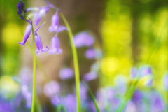 The Bluebell (Rich Walker Photography) Tags: bluebell flower flowers woodlands woods wood trees bokeh landscape landscapes landscapephotography abstract minimalistic canon efs1585mmisusm eos eos80d
