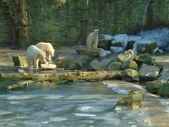IJsberen. (Loekje19) Tags: ijsberen