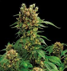 California-Hash-Plant-de-Dinafem-Seeds (Watcher1999) Tags: hash plant feminized seeds thc hashish cbd cannabis medical marijuana growing smoking weed ganja reggae legalize it