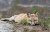Red Fox kit (Anne Marie Fraser) Tags: nature wildlife redfox foxkit kit redfoxkit baby foxbaby cute sleepy animal mammal