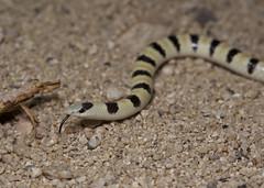 Colorado Desert Shovelnose Snake (brian.magnier) Tags: california desert nature reptiles herps snakes