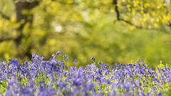 Bluebell Bokeh (Future-Echoes) Tags: 4star 2017 bluebells bokeh depthoffield dof essex flowers hillhousewood spring westbergholt woodland