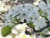 Wheaton, IL, College Avenue Metra Station, White Blossoms (Mary Warren 10.5+ Million Views) Tags: wheatonil collegeavenuemetrastation spring natue flora white blooms blossoms flowers coth5