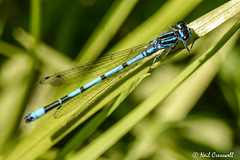 Blue Damselfly (crezzy1976) Tags: nikon d3300 nikkor55300mm crezzy1976 photographybyneilcresswell ellesmereport cheshire uk outdoors nature damselfly blue grass insect