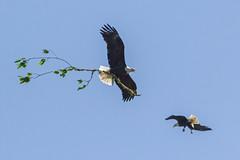 Pair of Eagles (Dave In Oregon) Tags: baldeagle bird nature eagles haliaeetusleucocephalus oregon rainieroregon
