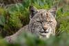 Bold Bobcat - Explored (alicecahill) Tags: california usa wild wildlife ©alicecahill pointreyes marincounty pointreyesnationalseashore cat bobcat mammal animal