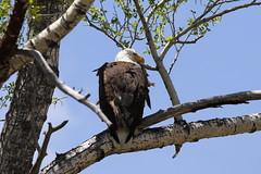Bald Eagle In Cottonwood Tree (fethers1) Tags: fishing flyfishing fraserriver granby bird raptor eagle baldeagle