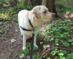 Gracie keeping an eye out for trouble (walneylad) Tags: gracie dog canine pet puppy cute lab labrador labradorretriever april spring morning westlynn